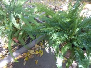 sword fern transplant 001